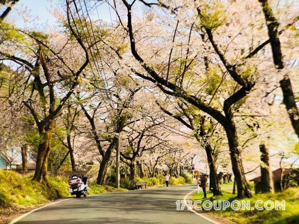 海津大崎部份已出現葉櫻的櫻花樹花況