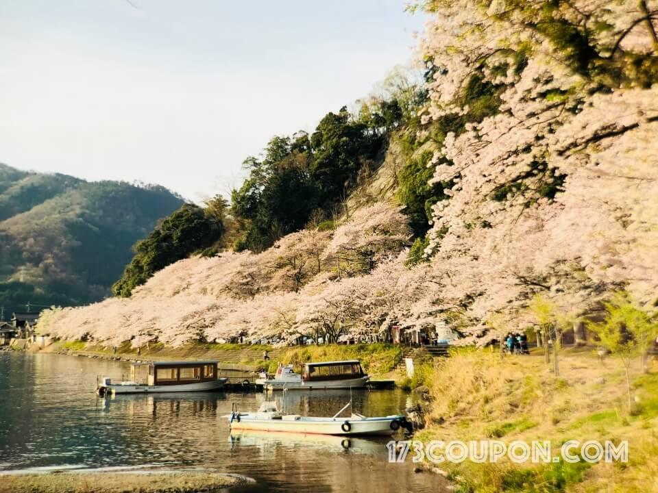 海津大崎的整片櫻花樹海 一旁還有花見船可遊琵琶湖賞櫻