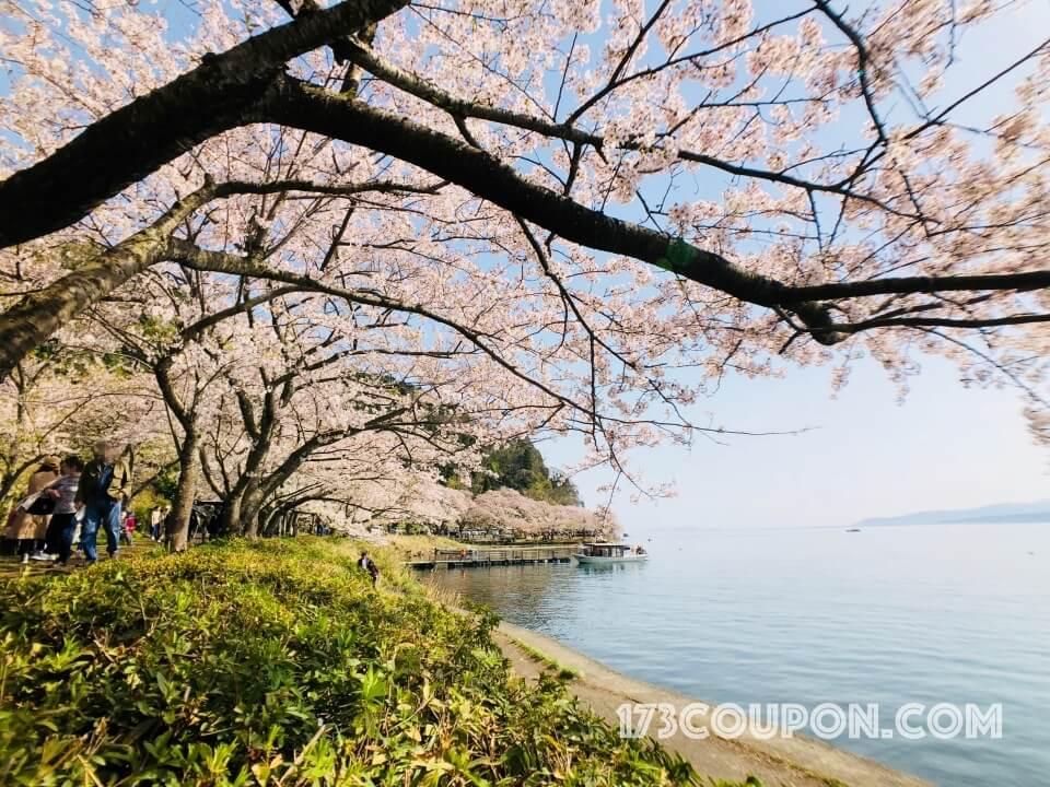 海津大崎櫻花樹群沿著琵琶湖畔